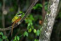 Rufous-tailed Jacamar - Tucuso Barranquero (Galbula ruficauda ruficauda) (24902168230).jpg