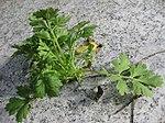 Ruhland, Grenzstr. 3, Mutterkraut (Tanacetum parthenium), Sämling vom Vorjahr, Blätter, Frühling, 03.jpg