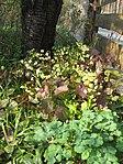 Ruhland, Grenzstr. 3, gelbe Elfenblume im Garten, blühend, Frühling, 08.jpg