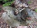 Russula cyanoxantha 192.jpg