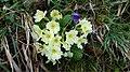 Saffron - Crocus vernus 13.jpg