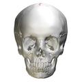 Sagittal suture - skull - anterior view01.png