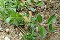 Salix cashmiriana kz01.jpg