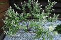 Salix integra Hakuro Nishiki (10).JPG