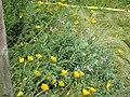 Salvia hypargeia - Flickr - peganum (2).jpg