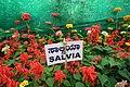 Salvia splendens 7238.JPG