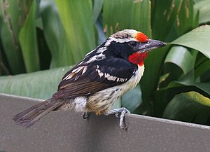 Black-spotted barbet - Male at San Diego Zoo
