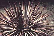 Some urchins display large spines.