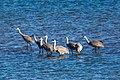 Sandhill crane (32813961851).jpg