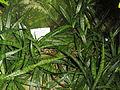 Sansevieria parva - Palmengarten Frankfurt - DSC01712.JPG
