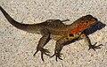 Santiago Lava Lizard.jpg