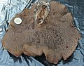 Sarcodon scabrosus - Flickr - Dick Culbert.jpg