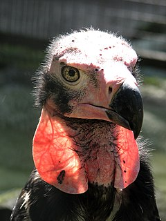 Sarcogyps calvus -Berlin Zoo -upper body-8a.jpg