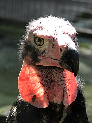 Red-headed vulture - At Berlin Zoo