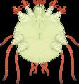 Sarcoptes scabiei (01).png