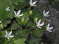 Saxifragaceae - Saxifraga rotundifolia.jpg