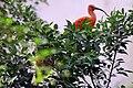 Scarlet Ibis (Eudocimus ruber) (2891843839).jpg