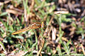 Scarlet dragonfly (Crocothemis erythraea) female.jpg