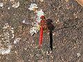 Scarlet percher (5378772877).jpg