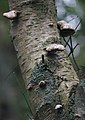Schiermonnikoog - Berkenzwam (Piptoporus betulinus) v5.jpg