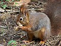 Sciurus vulgaris-Eurasian Red Squirrel.JPG