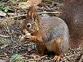 Sciurus vulgaris-Eurasian Red Squirrel.JPG
