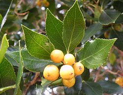Scolopia mundii MountainSaffron RedPear tree Cape Town 5.JPG