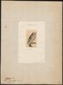 Scops zorca - 1700-1880 - Print - Iconographia Zoologica - Special Collections University of Amsterdam - UBA01 IZ18400125.tif