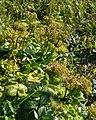 Scots Lovage (Ligusticum scoticum) - Port au Choix, Newfoundland 2019-08-19 (01).jpg