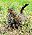 Scottish wildcat & kitten 2.jpg