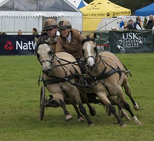 Scurry driving - A pair of ponies being driven in the scurry competition at the 2012 Monmouth Show