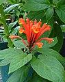 Scutellaria costaricana (Scott Zona) 001.jpg