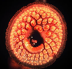Sea Lamprey mouth.jpg