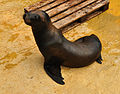Sea Lion at Gweek.jpg