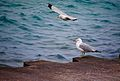Seagulls at Lake Michigan.jpg
