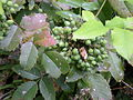 Seattle - Black Property - Oregon grape - raw.jpg
