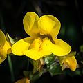 Seep Monkeyflower (Mimulus guttatus) (10374394226).jpg