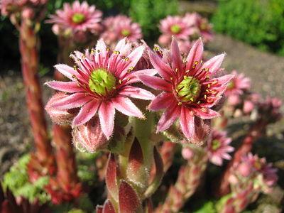 Sempervivum × funckii, flowers