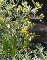 Senna artemisioides quadrifolia.jpg