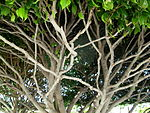 Shaped tree branches Tenerife.JPG