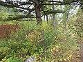 Shepherdia canadensis (7996246287).jpg