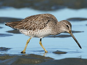 Short-billed Dowitcher (Limnodromus griseus).jpg