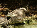 Siamese Crocodiles.JPG