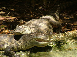 Endangered species - Siamese crocodile, an endangered species