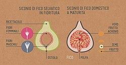 Siconio.jpg