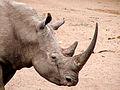 Side shot of white rhino.jpeg