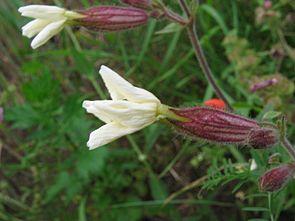 Weiße Lichtnelke (Silene latifolia)