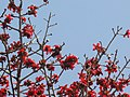 Silk Cotton Tree ( Bombax ceiba) flowers.JPG