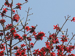 Kathiawar-Gir dry deciduous forests - A silk-cotton tree in full bloom