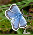 Silver-studded Blue - Flickr - gailhampshire.jpg